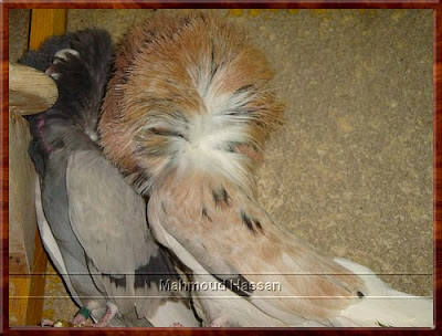 Jacobin pigeons for sale