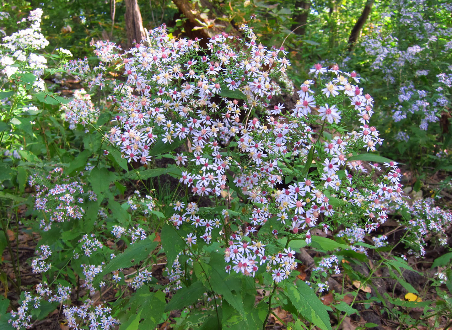 Prospect park litter mob blue wood asters for Perennial wood