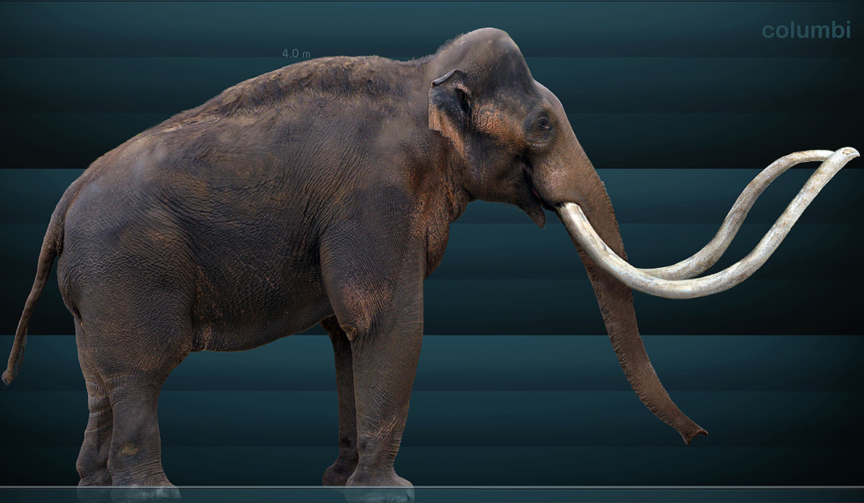False coloring in animals - The Next Mammoth That There Are Illustrations Or Restorations Of In Museums Is The Columbian Mammoth Mammuthus Columbi The Columbian Mammoth Is Like A