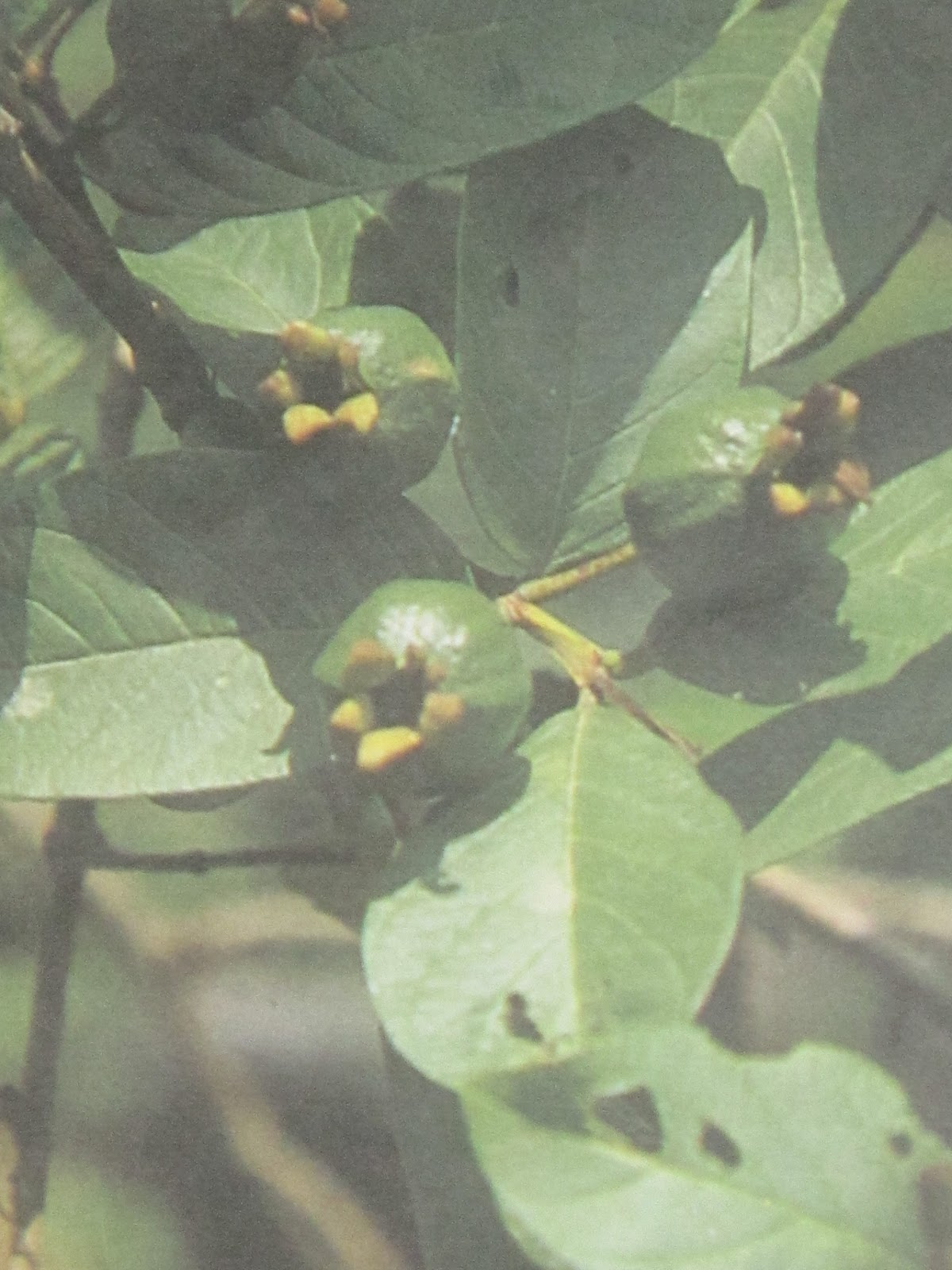 malunggay and guava leaves decoction Phenolic compounds in guava leaves have been credited with  the  consumption of decoction, infusion, and boiled preparations is the most.