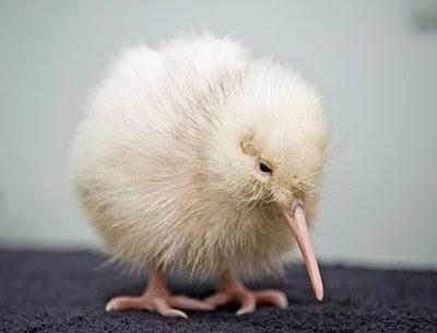 white rare kiwi chick