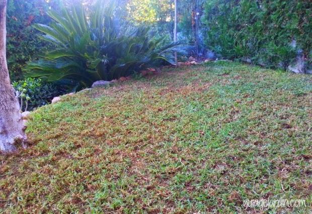 Las claves para recuperar un c sped estropeado guia de jardin blog de jardiner a y plantas - Recuperar jardin seco ...