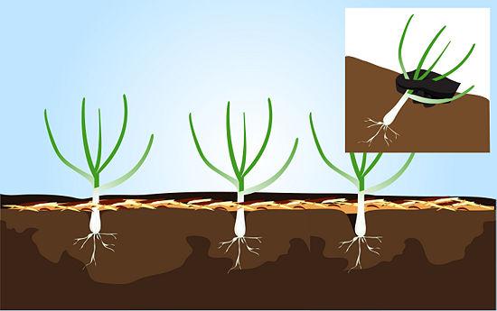Buenasiembra c mo plantar y cosechar ajo paso a paso - Como plantar marihuana en casa paso a paso ...
