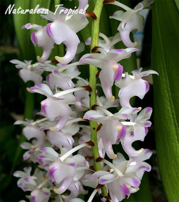 Flor de la orquídea limón (Aerides odorata)