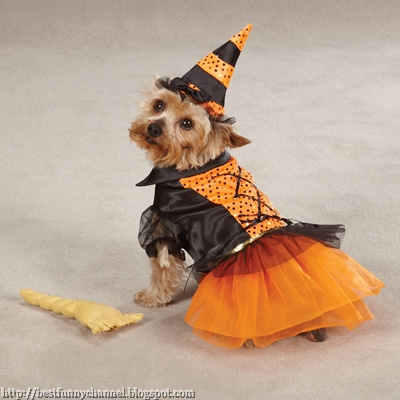 A dog dressed as witches.