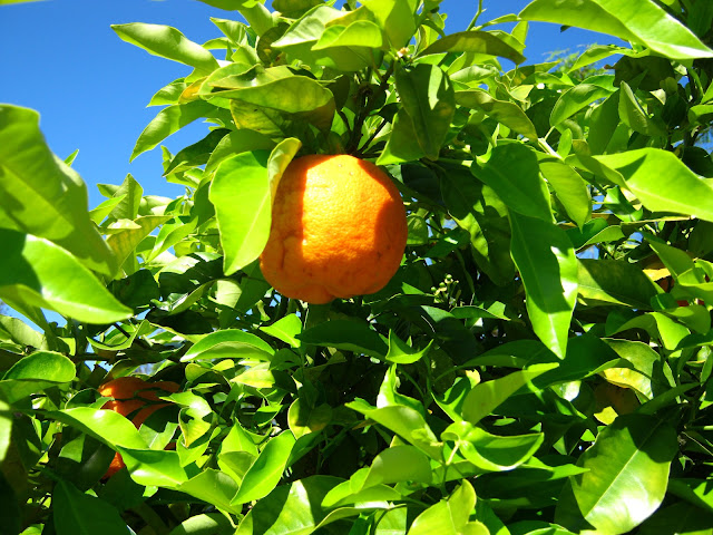 A orange tree at Salto uruguay.