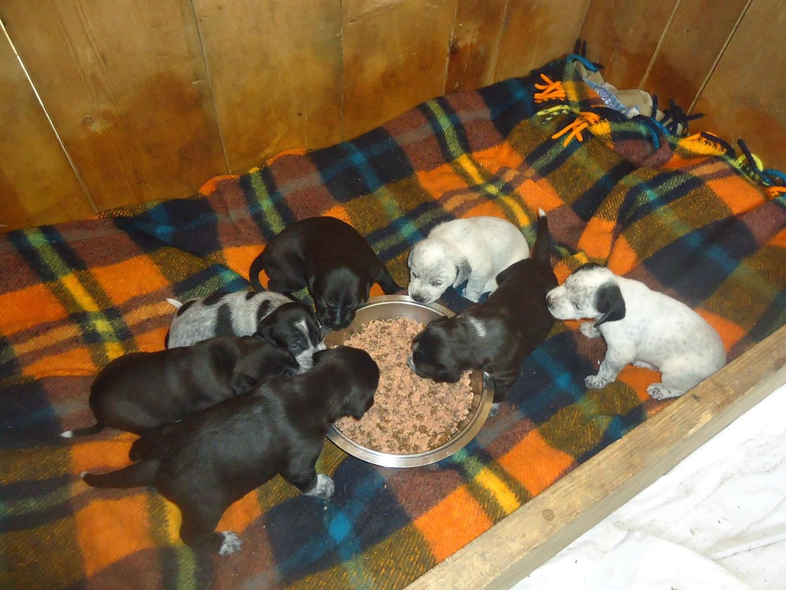 cuccioli adozione provincia di pisa cane da caccia