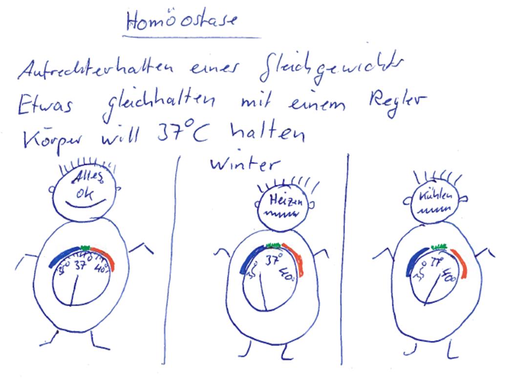 Gemütlich Homöostase Anatomie Und Physiologie Bilder - Physiologie ...