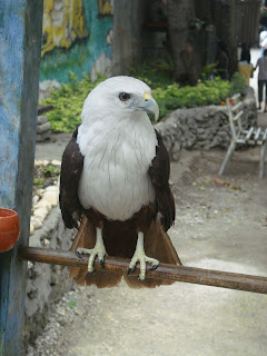 Cebu Zoo Brahminy Kite