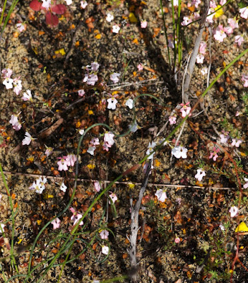 Book Triggerplant (Stylidium calcaratum)