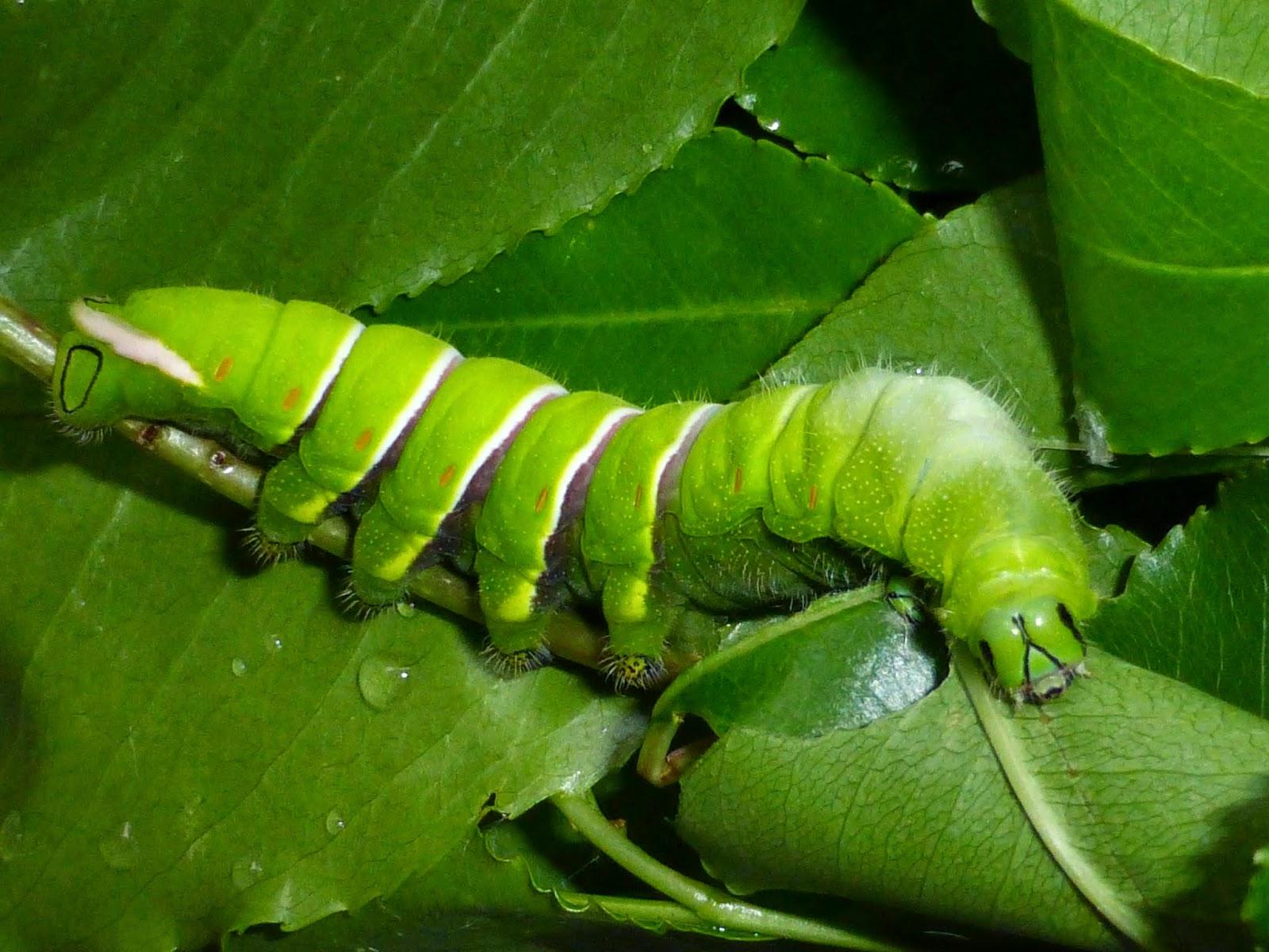 Rothschildia caterpillar