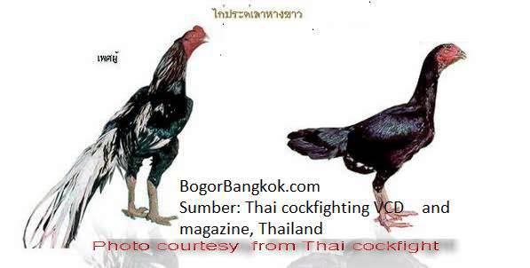 AYAM ADUAN BANGKOK ADU AYAM BANGKOK ayamaduan-bangkok.com