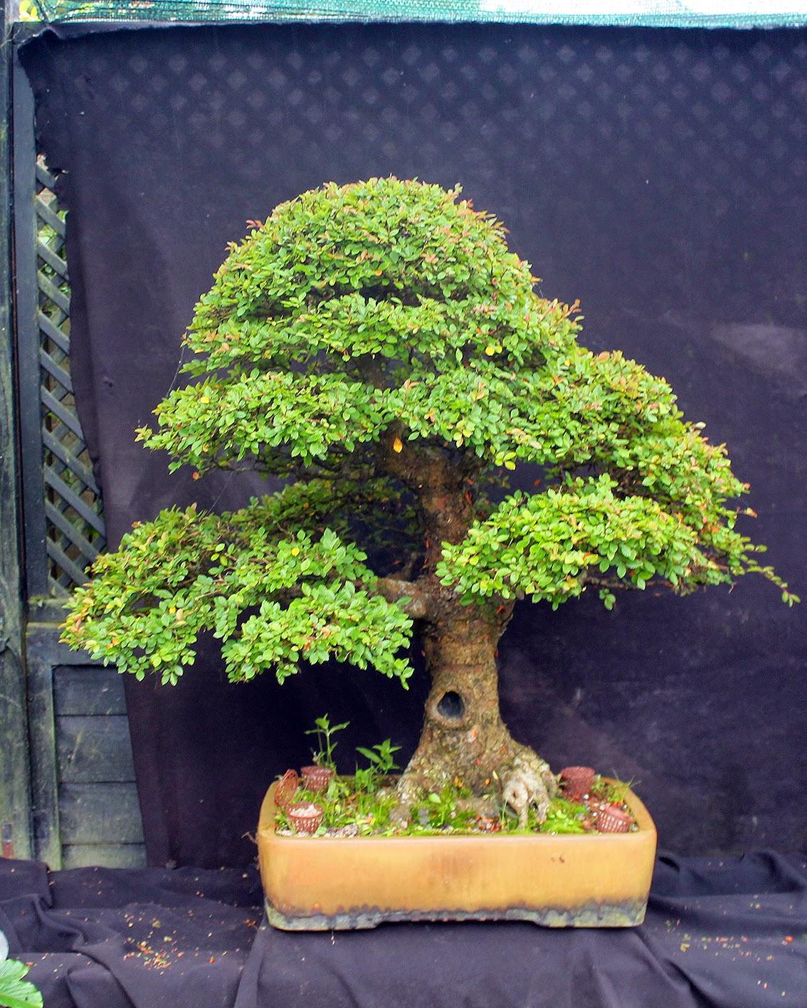 Little Cornish Trees The Wonderful Bonsai Merry Go Round