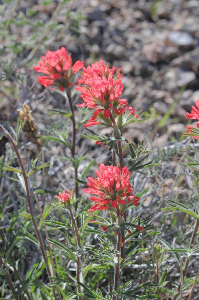 Castilleja angustifolia_5949