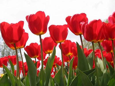 Red Tulips Desktop Wallpapers