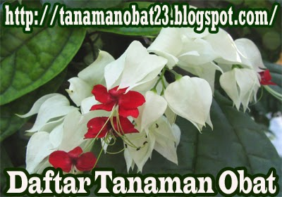 Tanaman Obat Nona Makan Sirih  (Clerodendrum thomsonae Balff.)