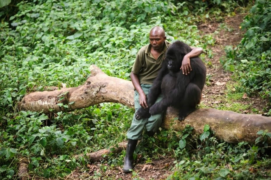 El guarda Patrick Karabaranga y un gorila huérfano en los montes virunga. Fotógrafo: Phil Moore.
