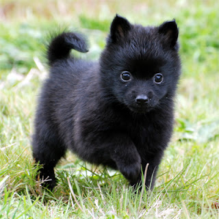 Schipperke Puppy Photos