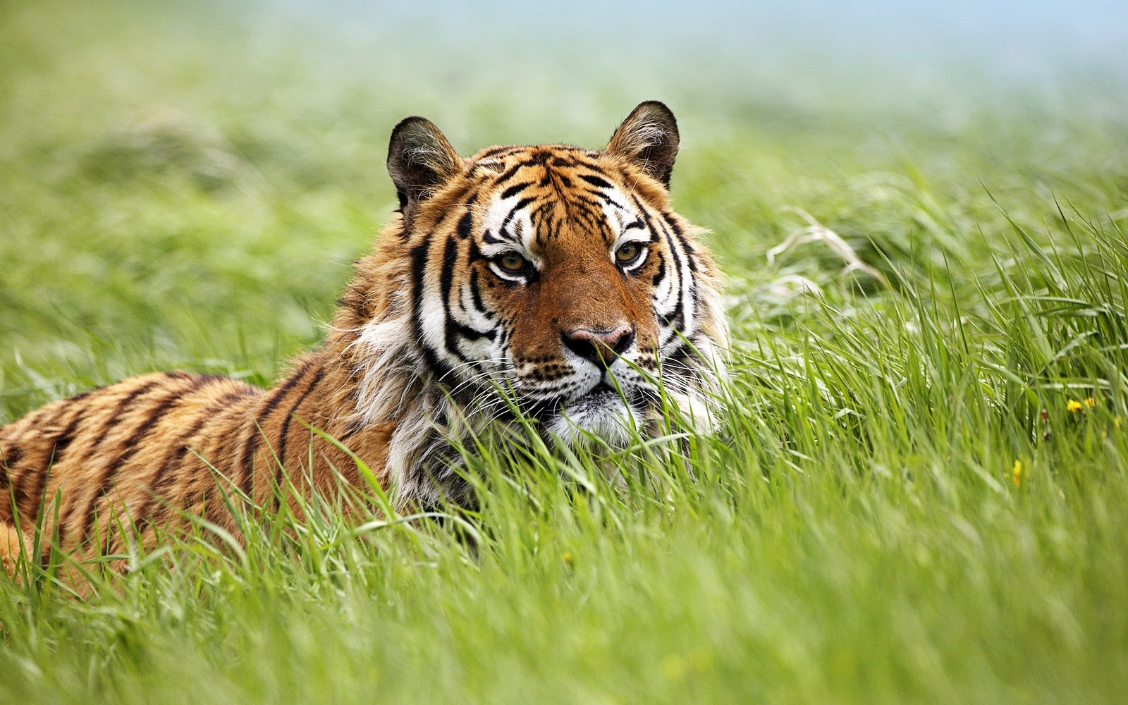 tiger wallpapers | wallpapers