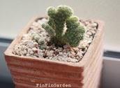 http://finfingarden.blogspot.com/2014/12/mammillaria-elongata-cristata-cactus.html