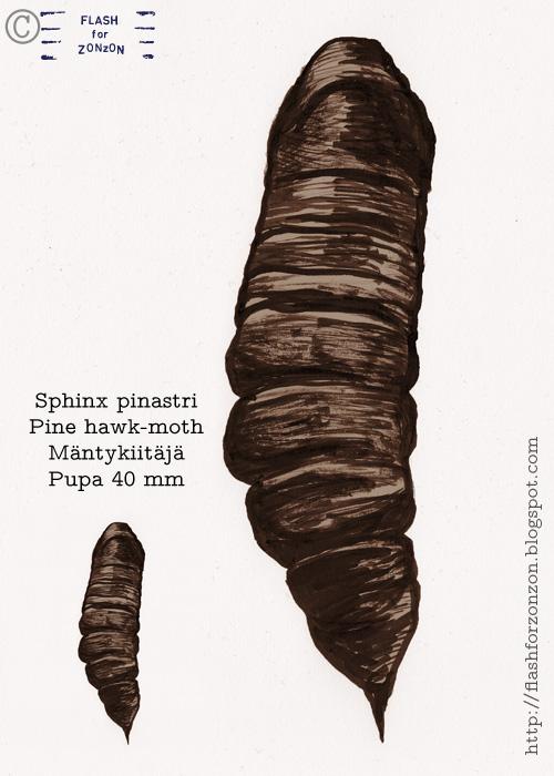 Sphinx Pinastri pupa