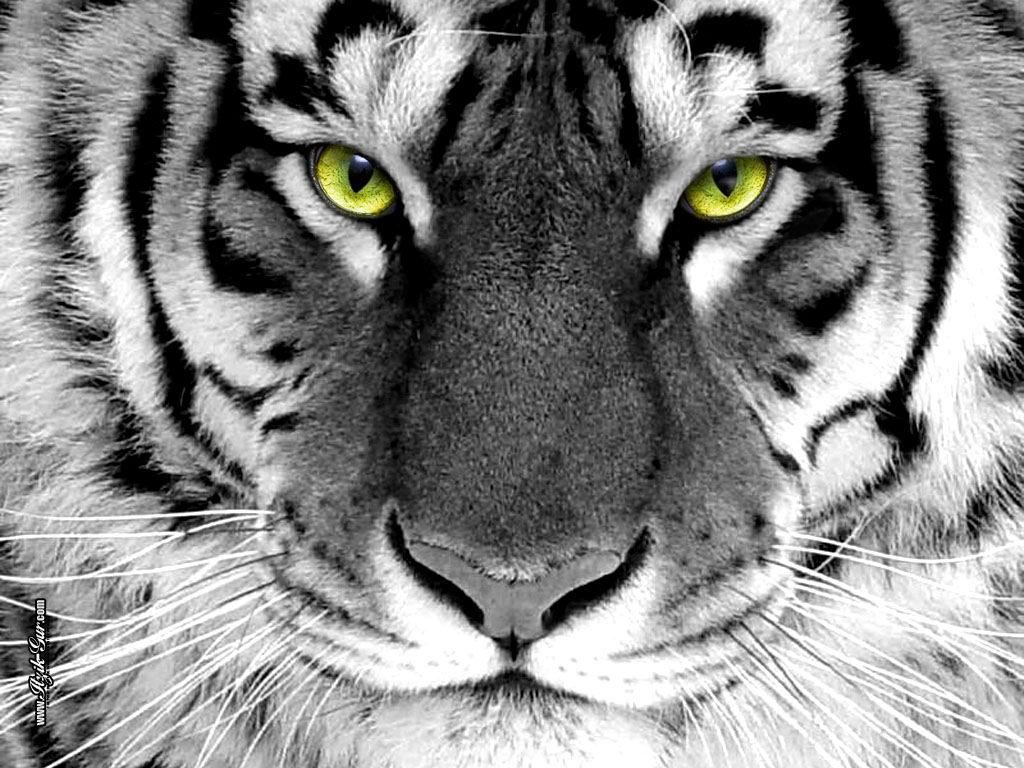 http://4.bp.blogspot.com/-3KeKWl38K6I/T40IUsYyYbI/AAAAAAAABhc/byK6-qvv1Z0/s1600/white-tiger-download-wallpaper.jpg