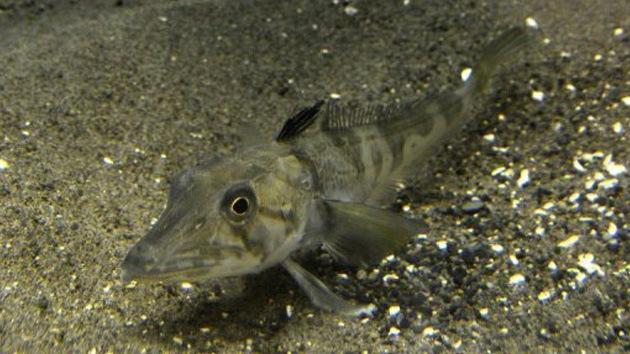 В ставропольском крае задержан подозреваемый в краже 200 килограммов малька рыбы карповых пород