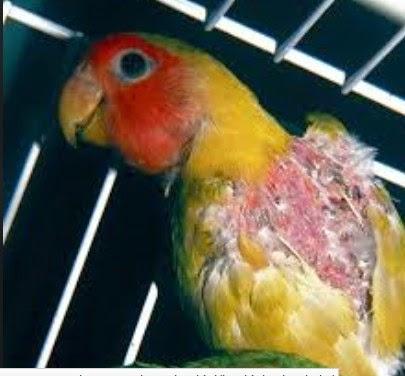 Penyakit Pada Burung Love Bird