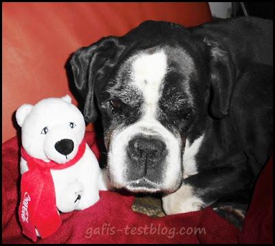 Boxer Ivy mit Eisbär