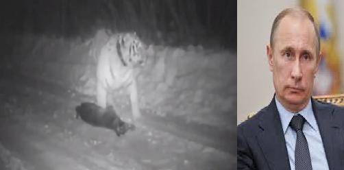 Harimau Siberia Milik Presiden Rusia