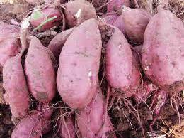 vitamin C dari ubi jalar
