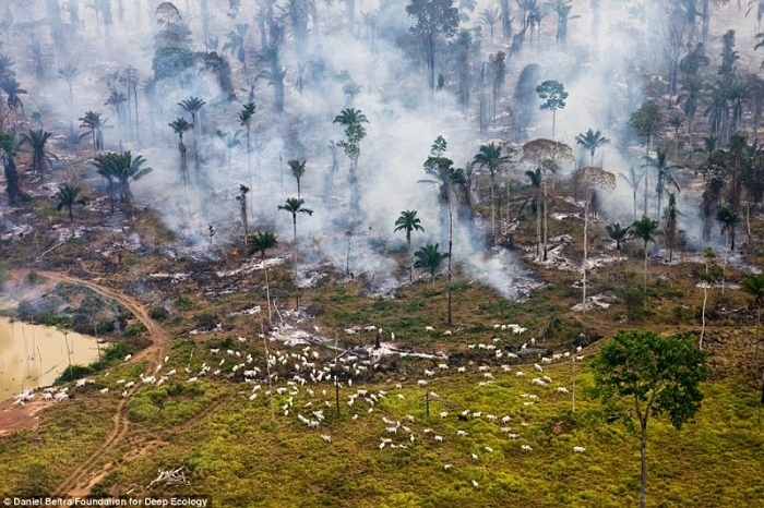 The rainforest in flames - goats used to graze here.