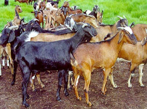 gambar sapi dan kambing