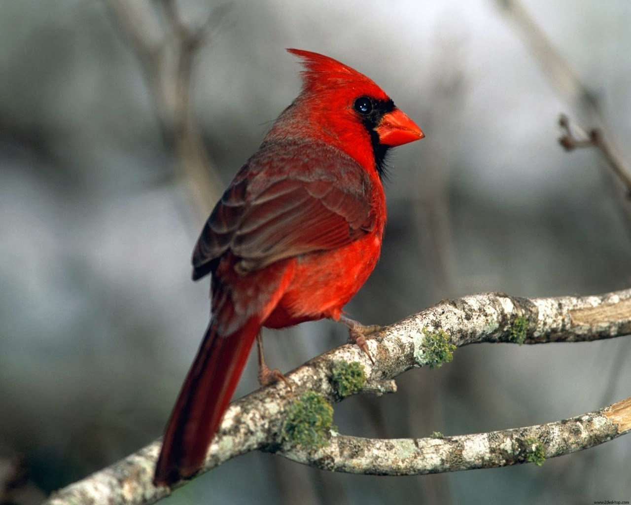 cardinal hd wallpaper download 1080p eagle hd wallpaper download 1080p