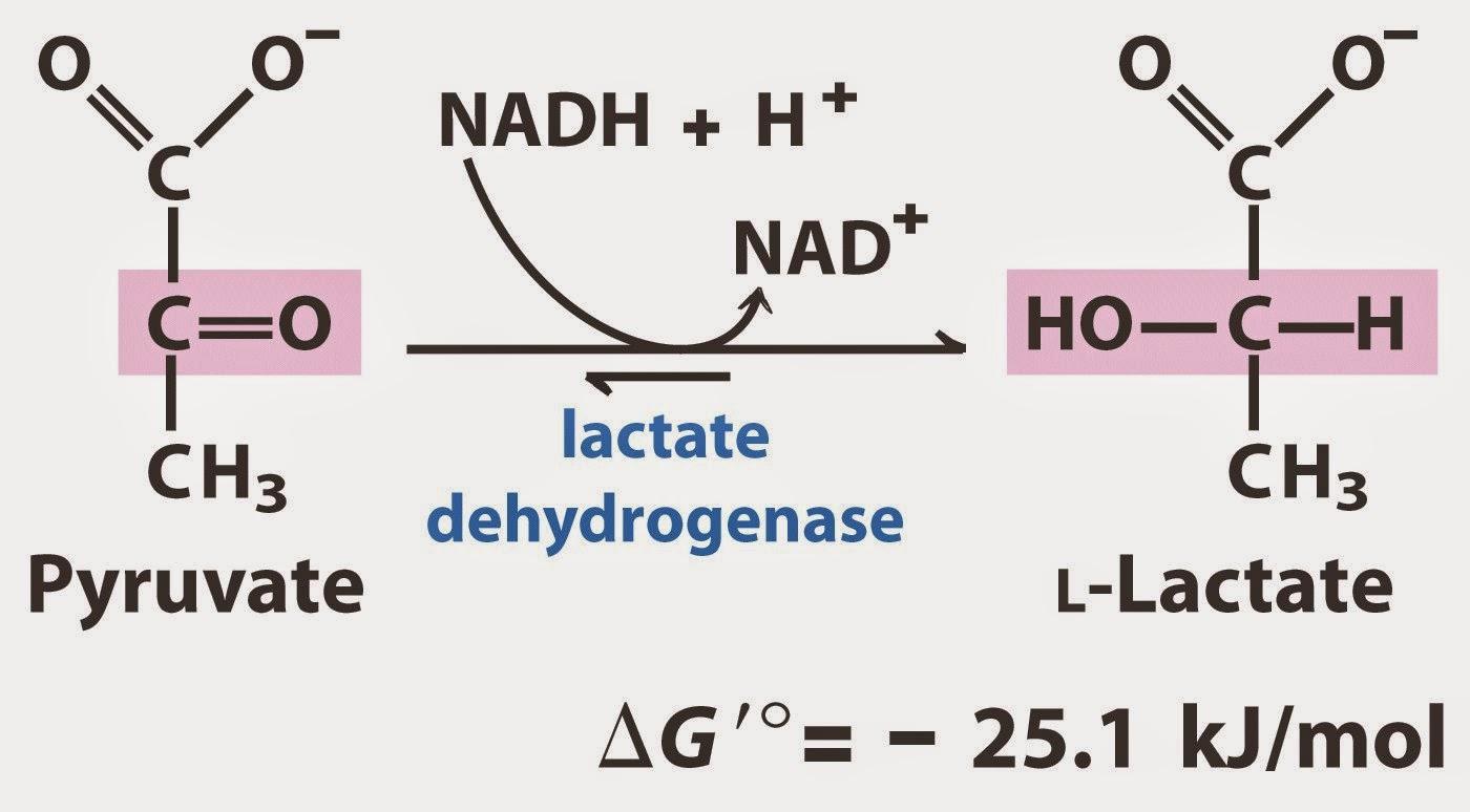 Resultado de imagen para reaccion lactato deshidrogenasa