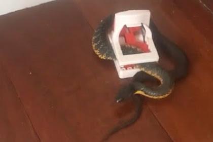 Ngeri, Ada Ular Berbisa di Perangkap Tikus