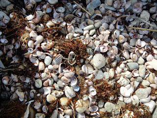 Sea shells on the beach in Oak Bluffs