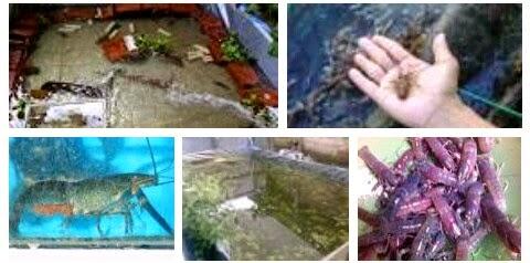 cara ternak budidaya lopster di aquarium dan kolam terpal