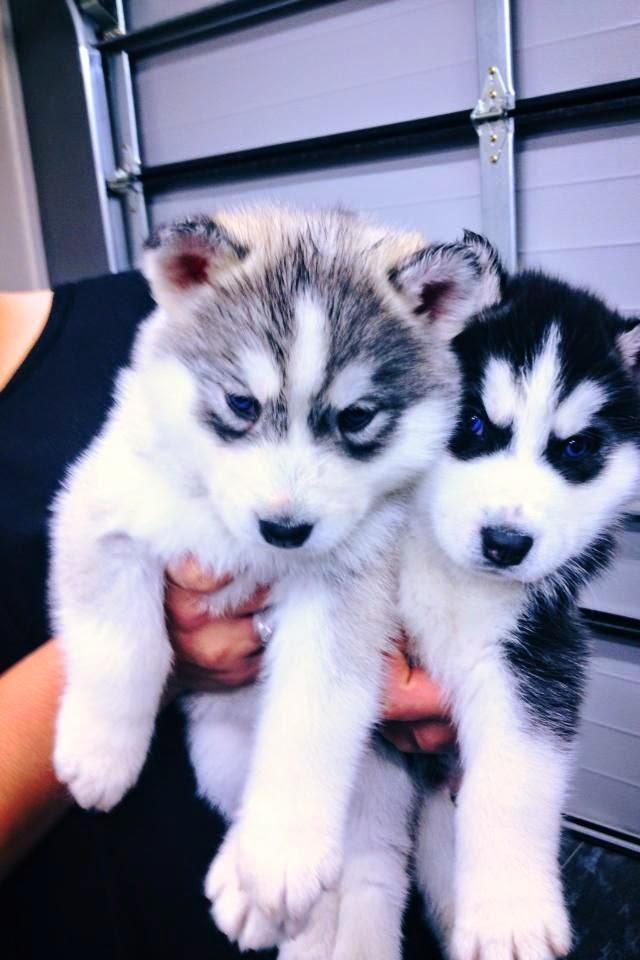See more Two husky puppies http://cutepuppyanddog.blogspot.com/