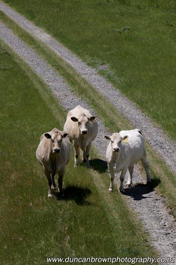 Curious cows photograph