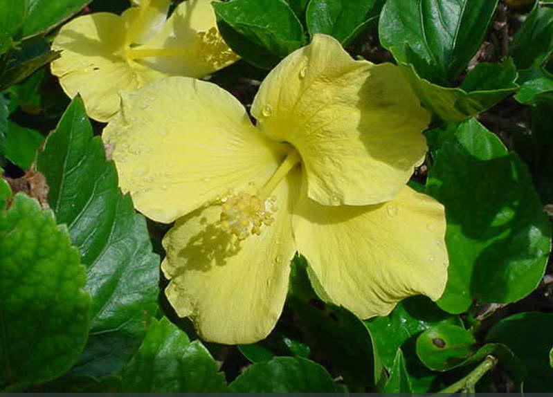 yellow hibiscus plant - photo #47