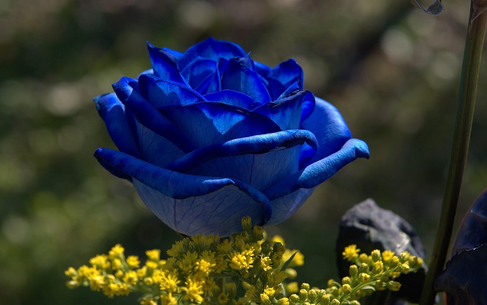 Blue Rose Flowers - Fl...