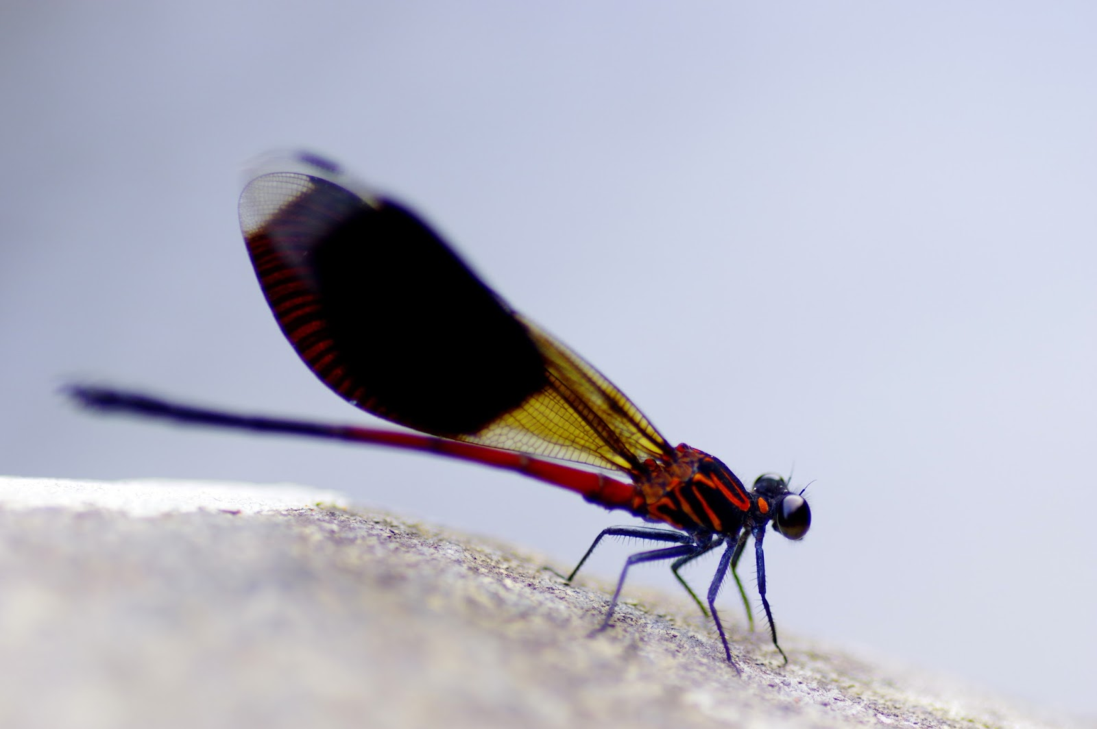 短腹幽蟌 Euphaea formosa