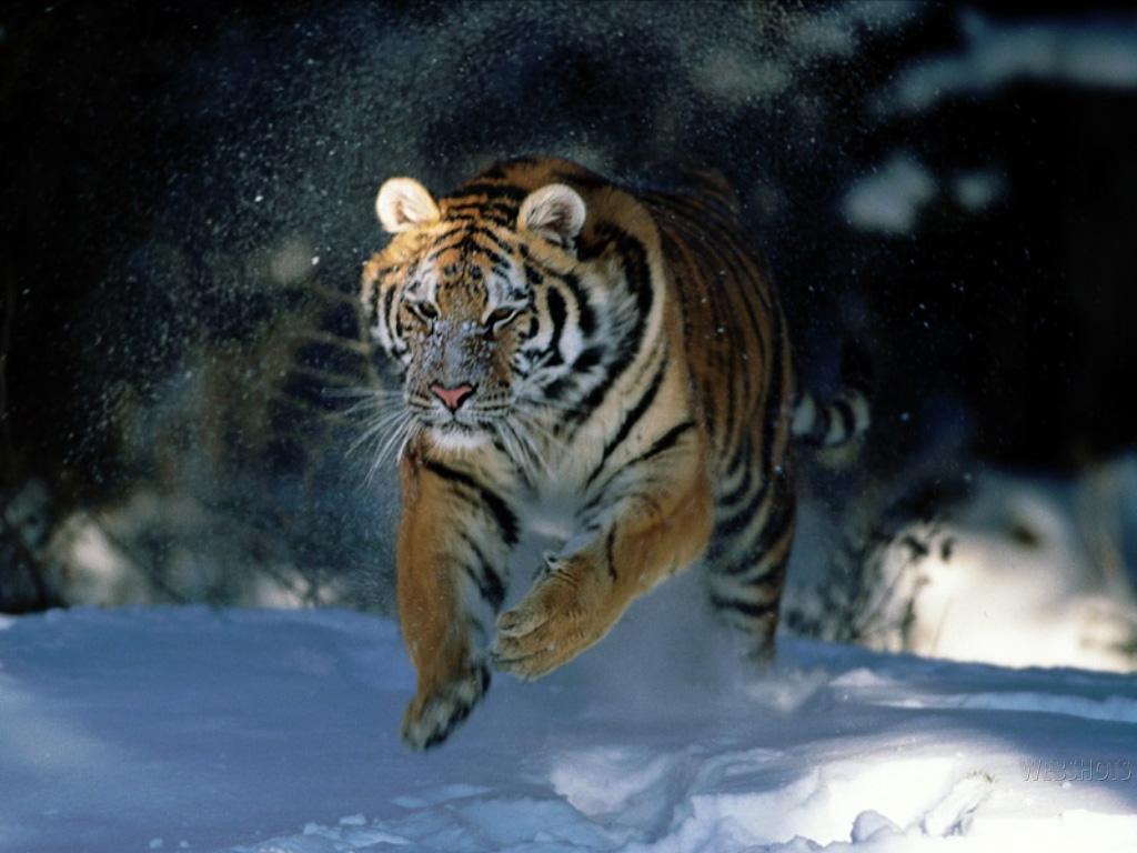 Siberian tigers poaching - photo#21
