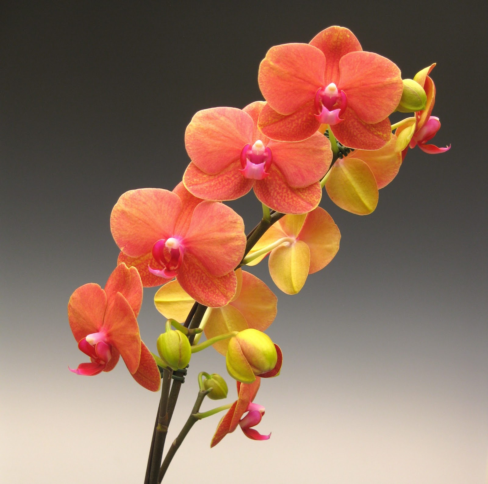 Orange Mini Cymbidium Orchids - Orchids - Types of Flowers ...