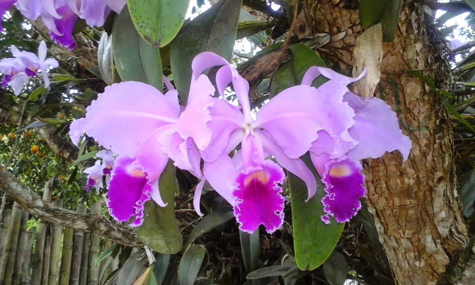 Cattleya trianae, Flor  Nacional de Colombia