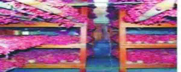 MOH. MAHRUS ( Menjual Bibit Bawang.. Tlp. 081803912060, 085727305416 ).