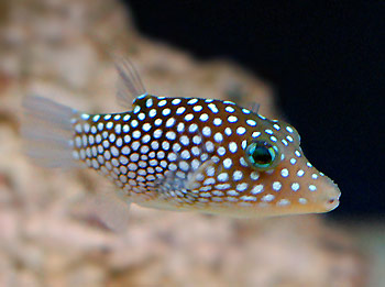 What is good summer brief concept polka dots are good for How much is a puffer fish