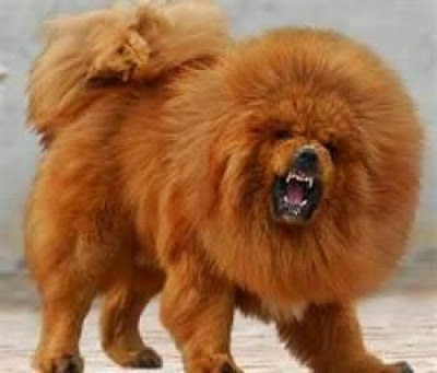 Japanese Lion Dog Breed