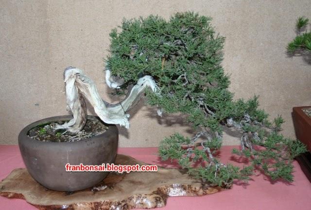 Fran bonsai la importancia del modelado en jun peros de for Importancia de un vivero